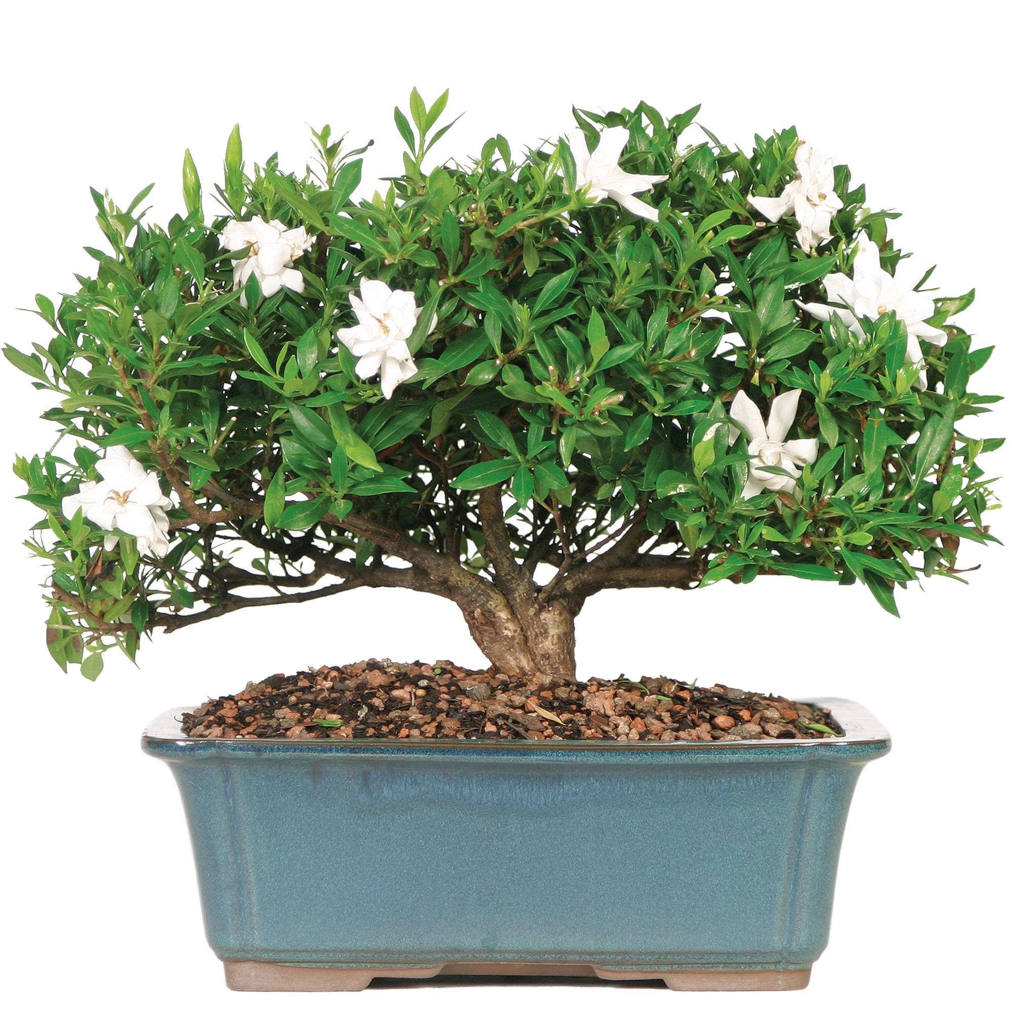 Jade bonsai tree for Bonsai indoor